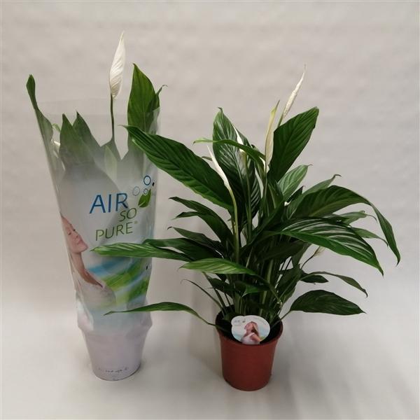 <h4>Spathiphyllum 'Bingo Cupido' ASP</h4>