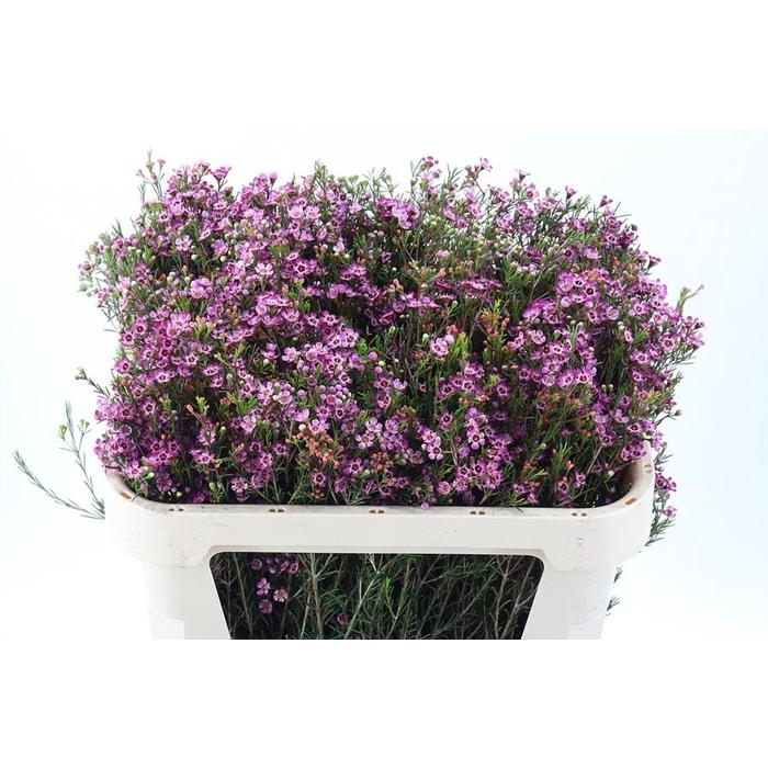 <h4>Chame Un Purple Prid</h4>