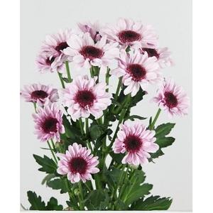 Chrys. spray stresa rosa (R. OPORTO)