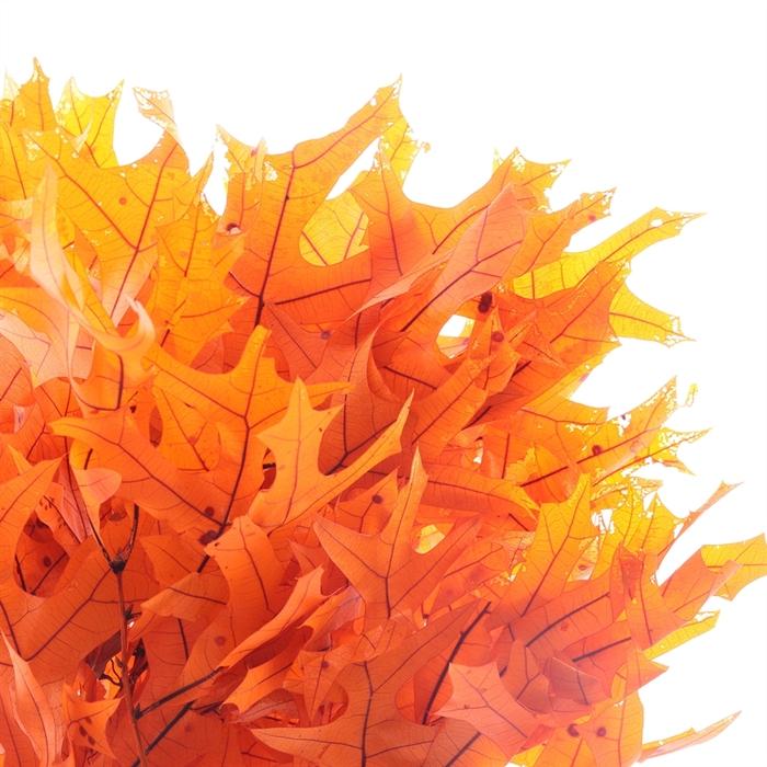 <h4>DRIED FLOWERS - EIK PRESERVED 50CM ORANJE</h4>