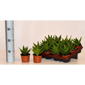 Aloe Perfoliata 9Ø 15cm