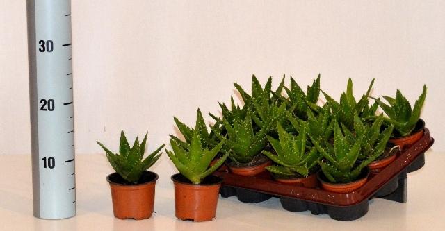 <h4>Aloe Perfoliata 9Ø 15cm</h4>