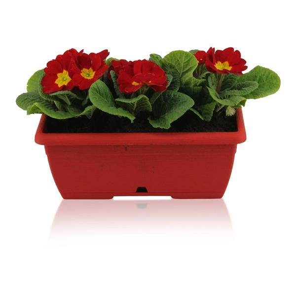 <h4>Primula Acaulis in Rood Duobakje</h4>