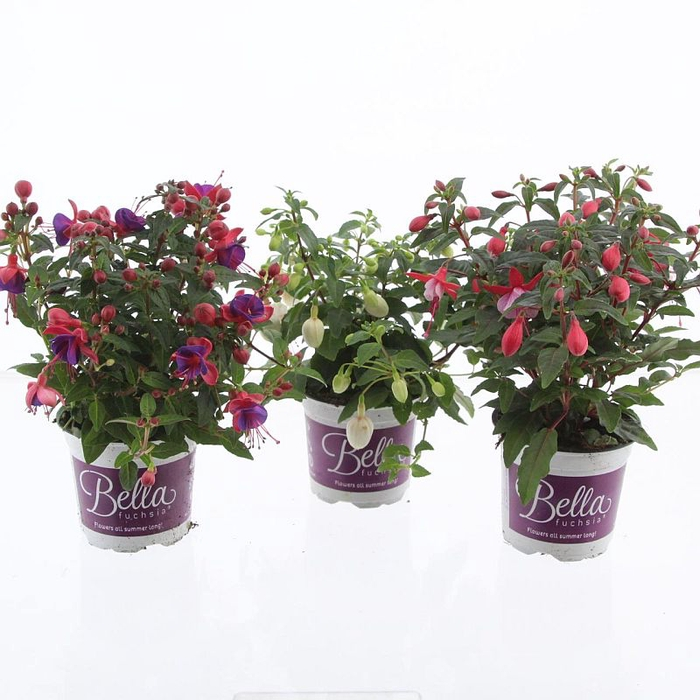 <h4>Fuchsia Bella mix</h4>