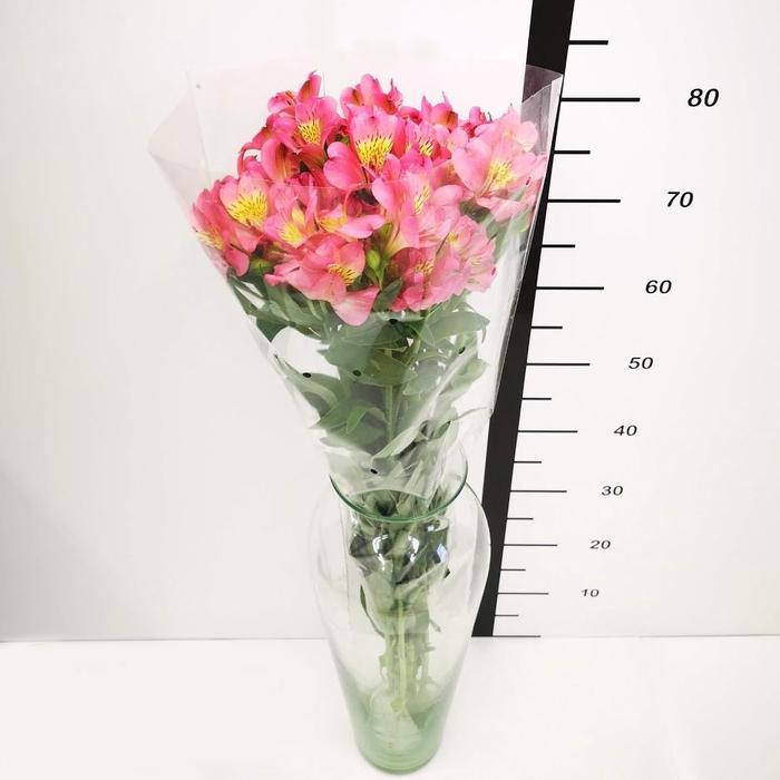 <h4>Alstroemeria rosa</h4>