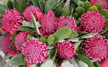 <h4>Protea Waratah Red</h4>
