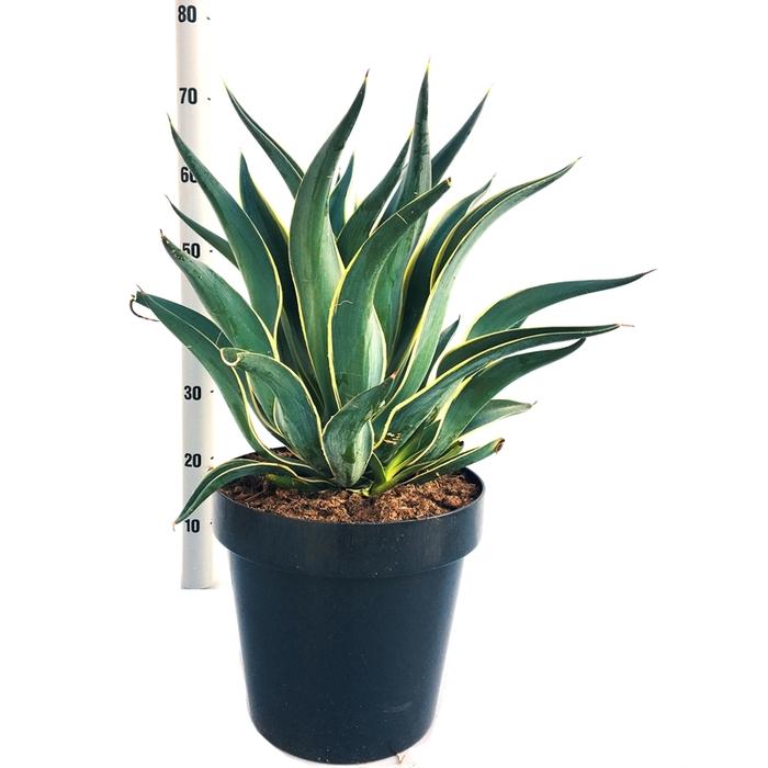 <h4>Agave desmettiana variegata (bont)</h4>