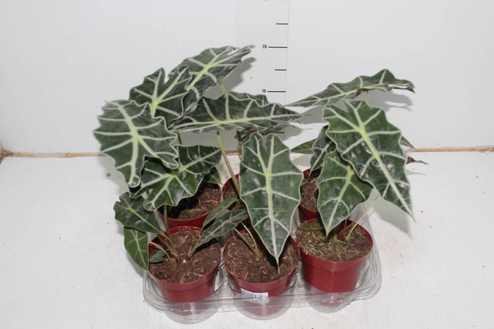 <h4>ALOCASIA POLLY P12</h4>