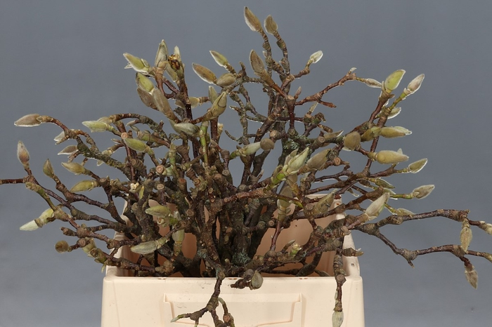 <h4>Magnolia Grandiflora</h4>