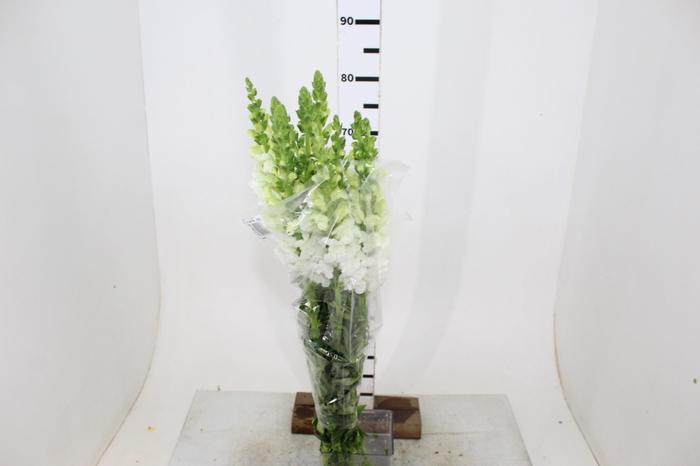 <h4>BOCA DE LEAO POTOMAC WHITE 080 CM</h4>
