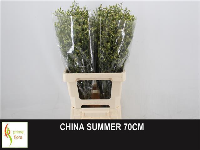<h4>LIM SIN CHINA SUMMER</h4>