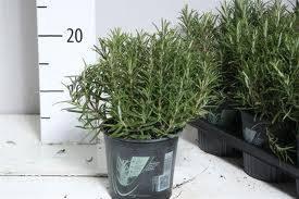 Kruiden I Santolina Chamaecyparissus (Heiligenbloem)