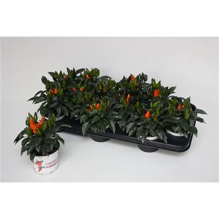 <h4>Capsicum Sombrero Oranje</h4>