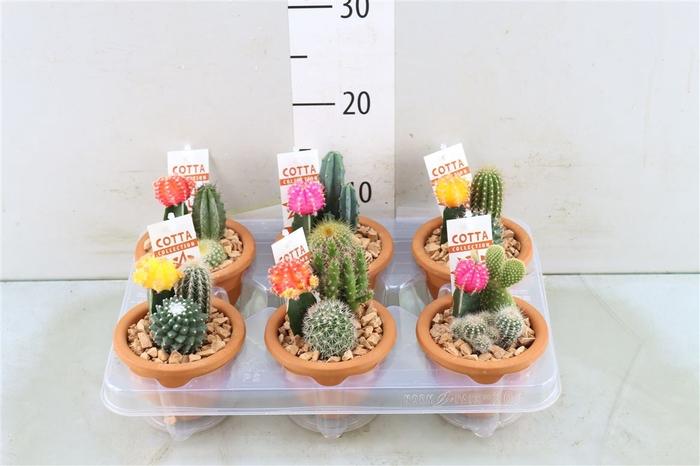<h4>Cactusschaal Bk10 + Ent</h4>