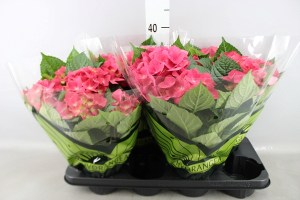 <h4>Hydrangea mac. 'Hot Red'</h4>
