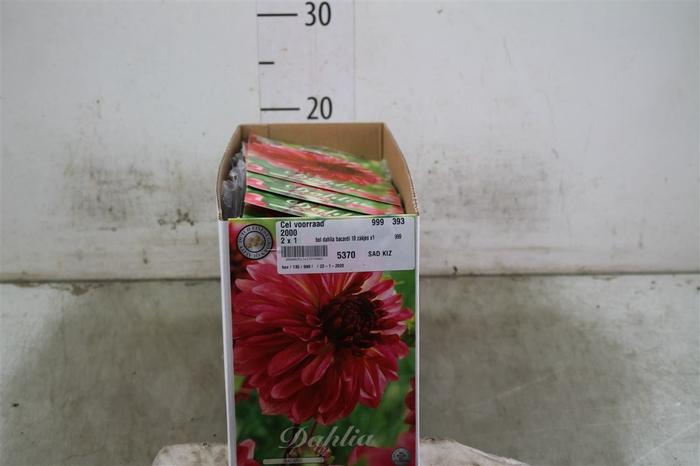 <h4>Bol Dahlia Bacardi 10 Zakjes X1</h4>