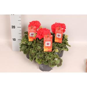 Pelargonium Calliope M Scarlet Red