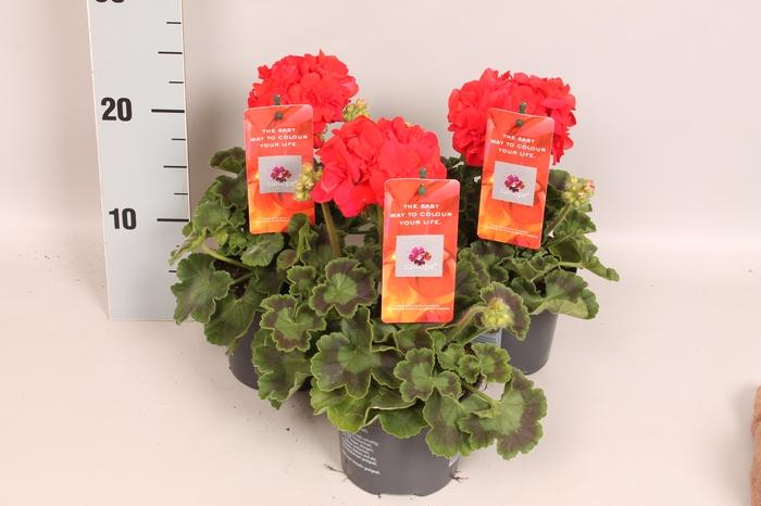 <h4>Pelargonium Calliope M Scarlet Red</h4>