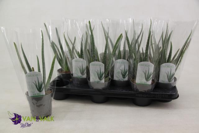 <h4>Aloe Vera 10,5Ø 28cm</h4>