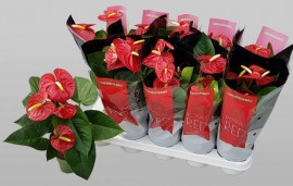 <h4>Anthurium Anthu An Royal Champ</h4>