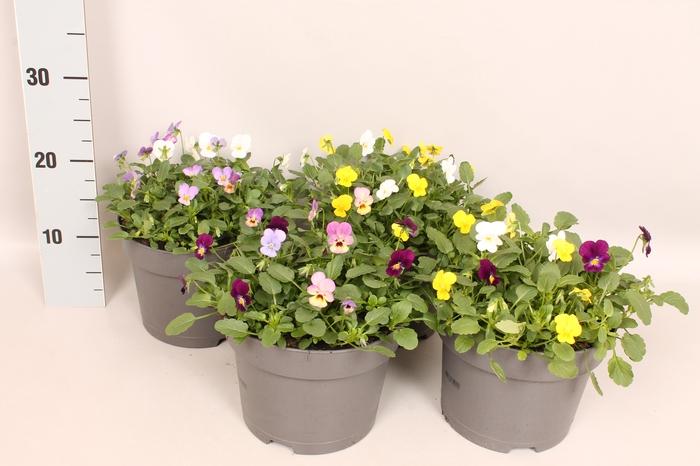 <h4>Viola cornuta 19 cm mix Diverse soorten</h4>