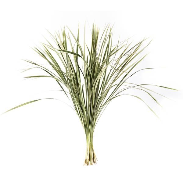 <h4>T-GRAS BONT</h4>