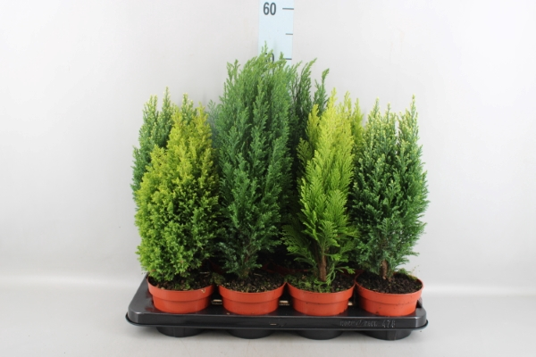 <h4>Conifers   ...mix</h4>