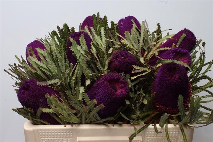 <h4>Banksia Hookeriana Purple</h4>