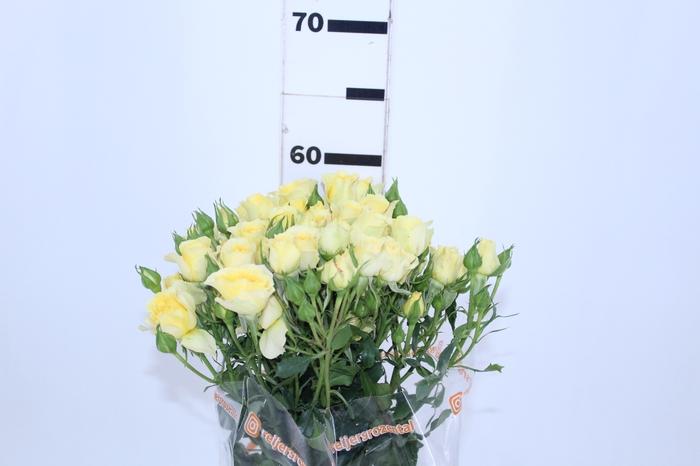 <h4>ROSA SPRAY YELLOW GARDEN 060 CM</h4>