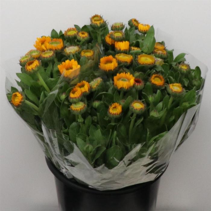 <h4>Calendula Yellow</h4>