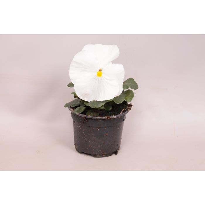 <h4>Viola wittrockiana F1 Pure White</h4>