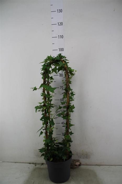 <h4>Hedera He Shamrock Obelisk</h4>