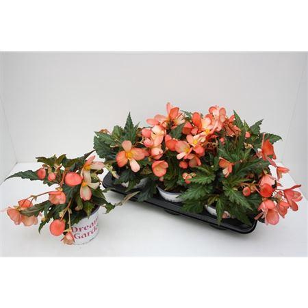 <h4>Begonia Waterfall Angel Soft</h4>