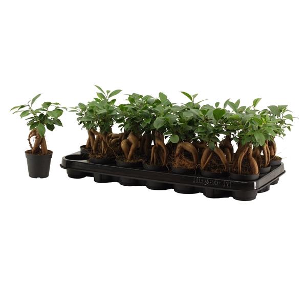 <h4>Ficus Ginseng Bonsai 7 cm</h4>