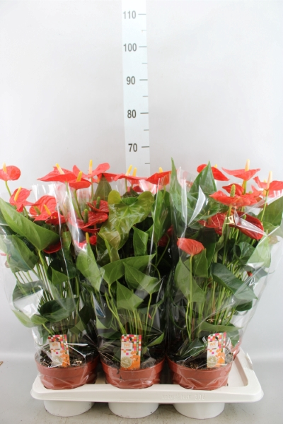 <h4>Anthurium andr. 'Sierra Orange'</h4>