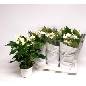 Anthurium White Champion 17Ø 65cm 10fl