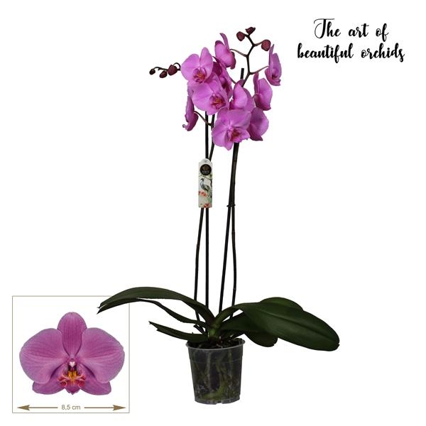 <h4>Phalaenopsis San Francisco</h4>