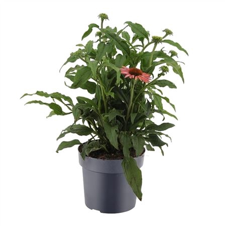 <h4>Echinacea Mooodz 17 Cm Oranje</h4>