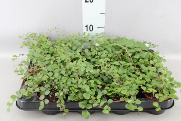 <h4>Pellaea rotundifolia</h4>