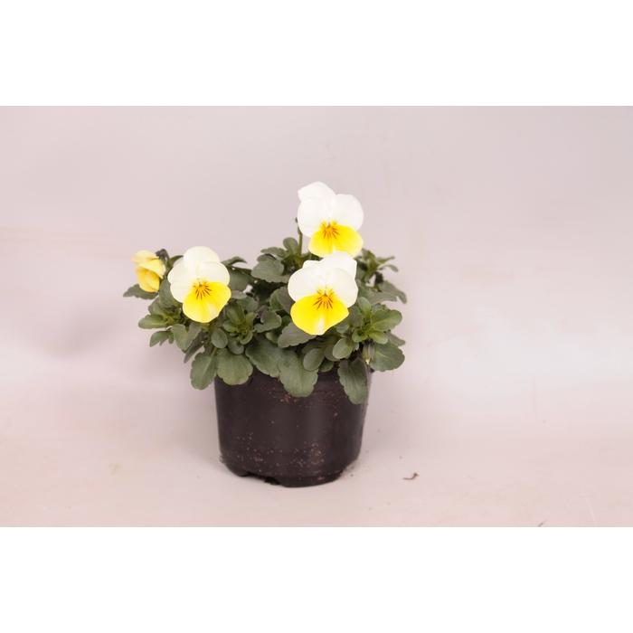 <h4>Viola cornuta F1 Sunny Side Up</h4>