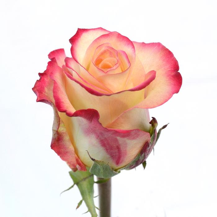 <h4>Rose Antique Duett</h4>