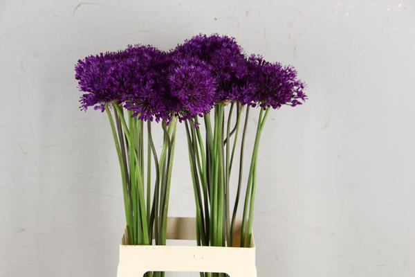 <h4>Allium Purple Sensation</h4>