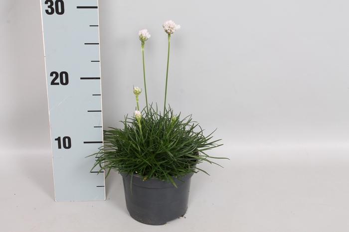 vaste planten 12 cm Armeria Maritima White