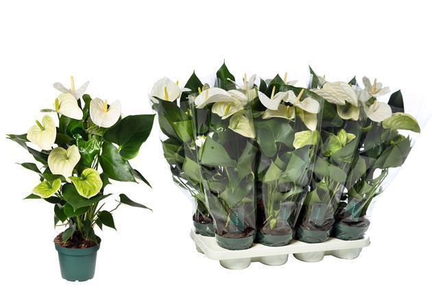<h4>Anthurium  Samora 14Ø 50cm 5+ kwiatów</h4>