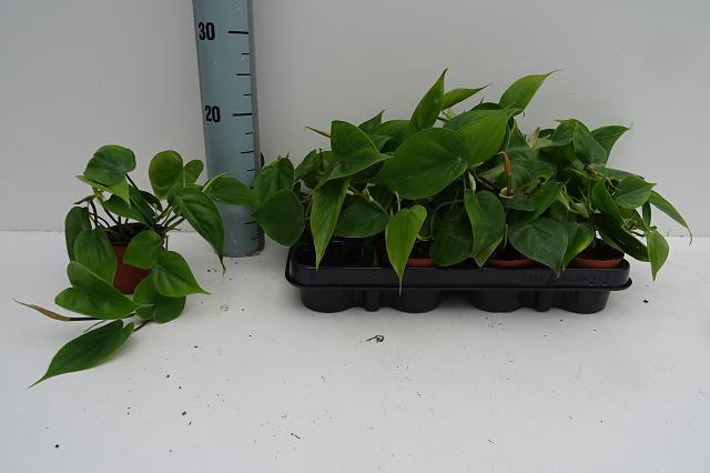 <h4>Philodendron Scandens 8,5Ø 10cm</h4>