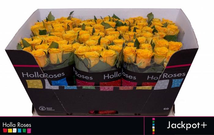 <h4>Rosa grootbloemig Jackpot+</h4>