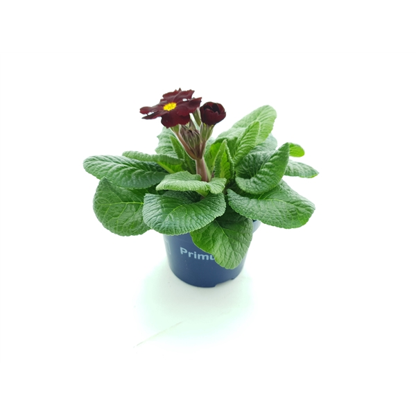 <h4>Primula el. Perola wine red</h4>