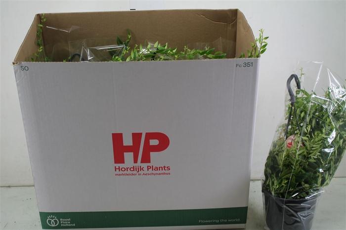 <h4>Aeschynanthus Japhrolepis Hang</h4>