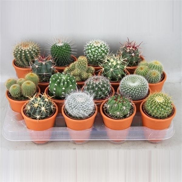 <h4>art.56 Bollen in rozenpot cactus 6,5 cm</h4>
