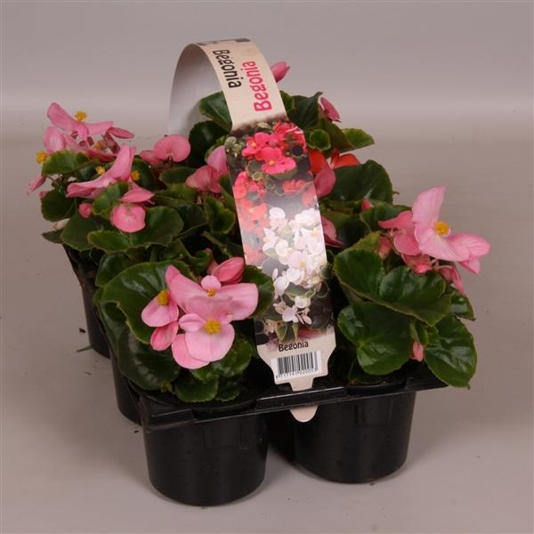 <h4>Begonia Semperflorens Grp groenbladig roze 6p</h4>